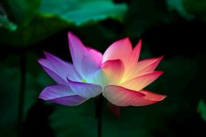 Lotus Flower Lotus Rainbow Colorful  - Matryx / Pixabay