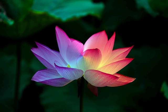 Lotus Flower Lotus Rainbow Colorful  - Matryx / Pixabay